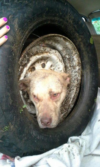 【画像】タイヤのホイールに頭がはまった犬の救助方法がなかなか凄い!!の画像(3枚目)