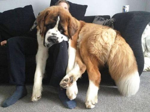 巨大な犬の画像(15枚目)