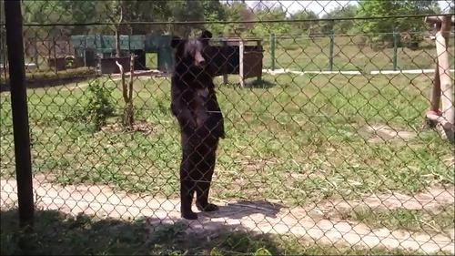 人間のように歩くクマの画像_000006112
