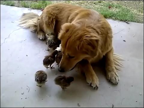 大量のヒヨコに襲われる犬の画像7