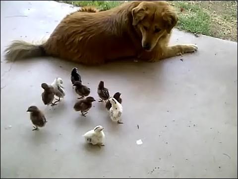 大量のヒヨコに襲われる犬の画像3