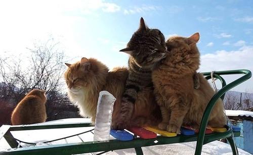 シベリアン猫の画像(2枚目)
