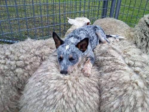 どこでも寝れる!?どこでも寝てる可愛い犬の画像の数々!!の画像(3枚目)