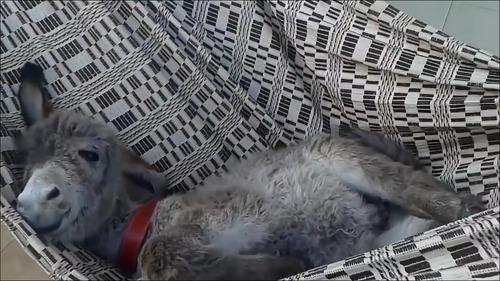 【動画】ハンモックが好き過ぎるロバの子供_000005333