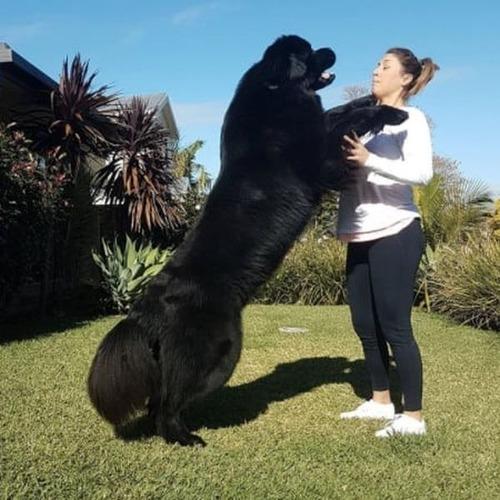 大きすぎる犬の画像(16枚目)