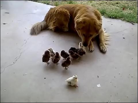大量のヒヨコに襲われる犬の画像4