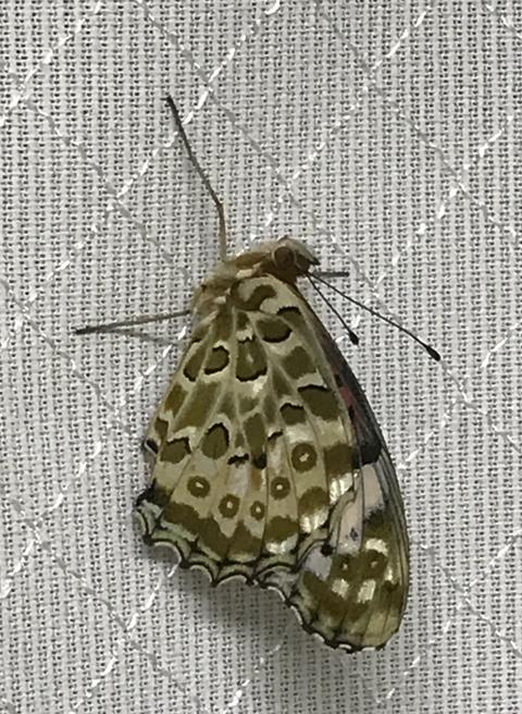 しらん蝶2