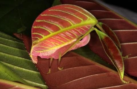 キリギリス雌