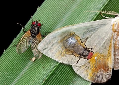 糞に群がるハエが描かれている蛾2
