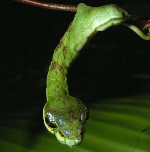 ヘビに擬態するイモムシ