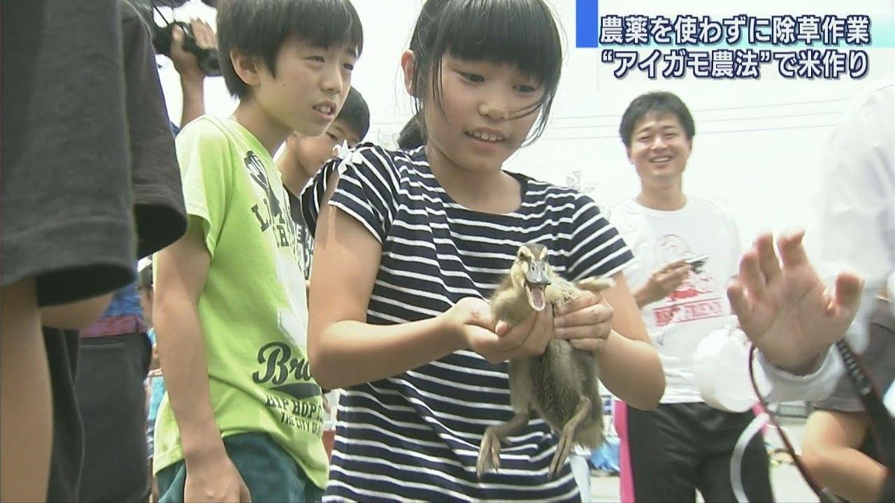 【運命】小学生がアイガモの放鳥を体験「大きく元気に」→食用に「おいしく元気に育ってほしいです」