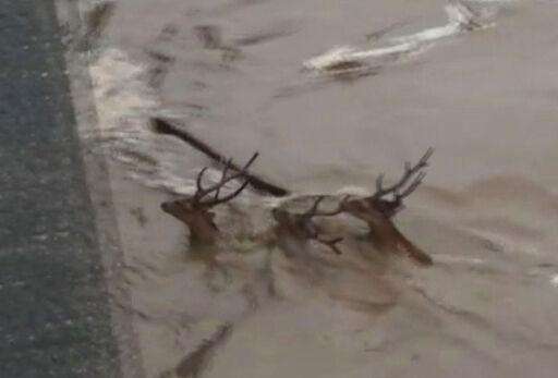 広島市 増水した太田川にシカ3匹 流されて泳ぐ (動画)・・・鹿「溺れてなので助けは不要!」 人間「シカと見届けますw」