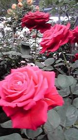 西武ドーム薔薇