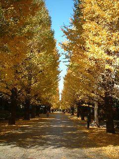 東京大学駒場キャンパス銀杏並木