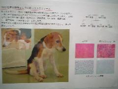 生命科学の現在・パート6(7)筋ジストロフィー犬