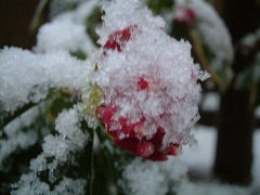 雪の沈丁花