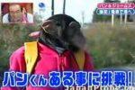 天才チンパンジーのパン君が電車に挑戦