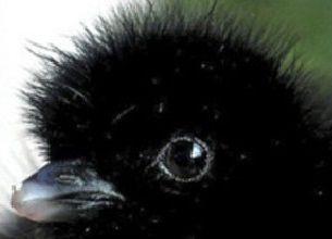cute_baby_crow