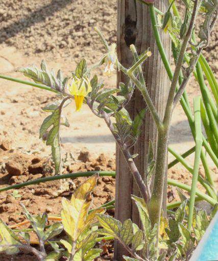 トマトの花落ち、ニンニクのサビ...