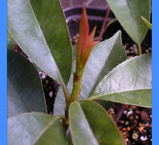 挿し木のレッドロビン新芽出る