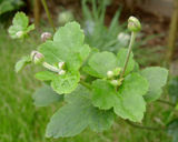 シュウメイ菊の花芽2