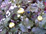 菊の蕾(2)