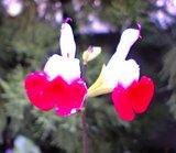 チェリーセージの花