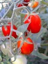 田舎のトマト