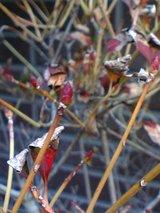 ドウダンツツジの花芽