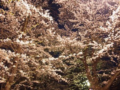 赤城山の千本桜