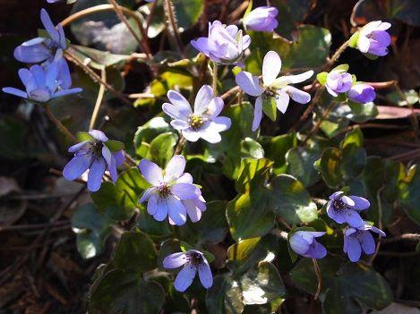 角田山の花