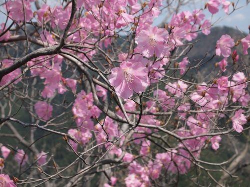 アカヤシオの春