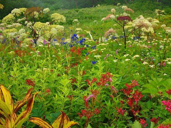 秋の花が満開の唐松岳