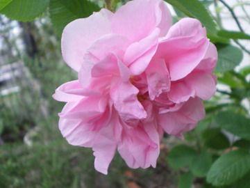ローズ Rosa damascena