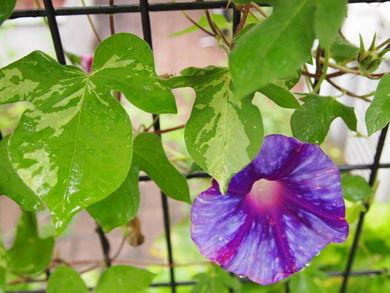かゆみにアサガオの葉