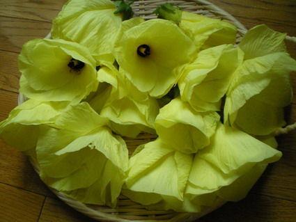 花オクラ Abelmoschus manihot