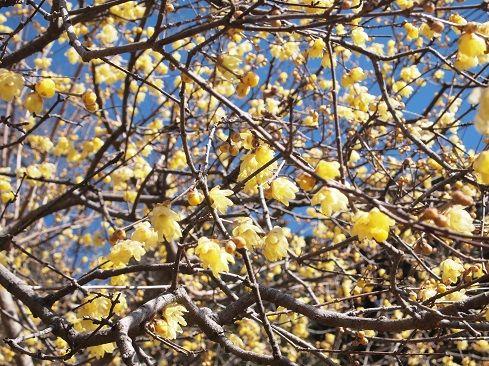 宝登山の蝋梅と節分