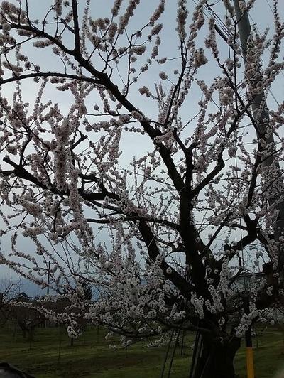 長野も春ですね
