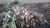 にんにく畑収穫2017