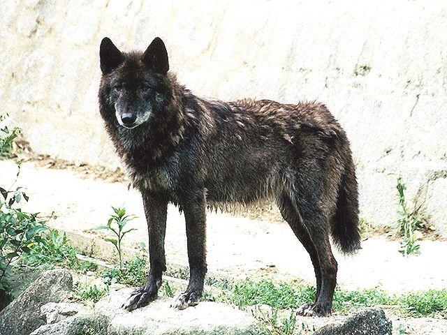 黒い狼の画像