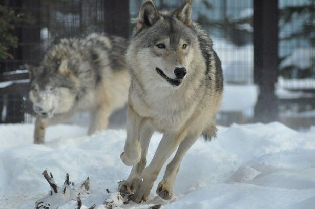 狼が走る画像