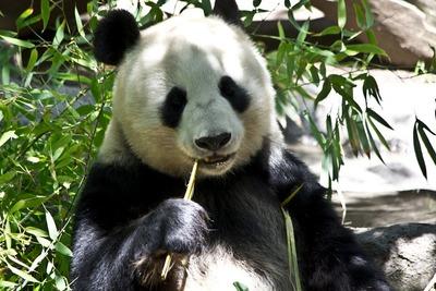panda-214260_960_720
