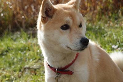ペットショップ「柴犬は初心者でも大丈夫ですよー」 犬図鑑「柴犬は初心者でも大丈夫」