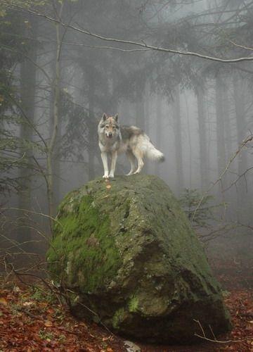 岩の上の狼の画像