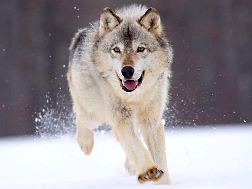 雪の中走る狼の画像