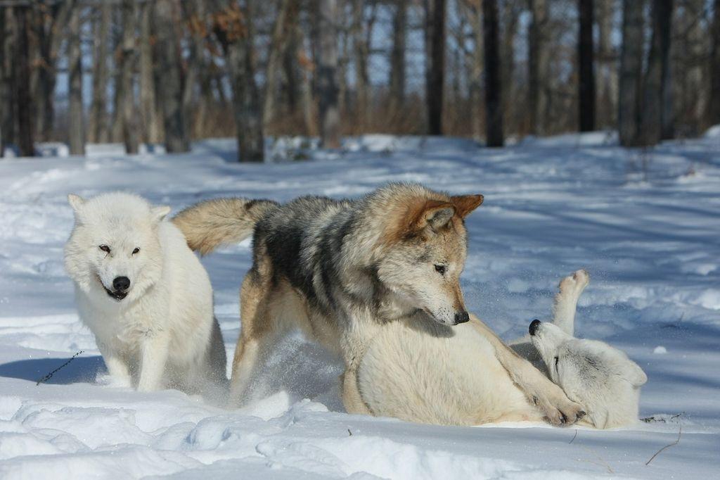 雪の中でじゃれる狼