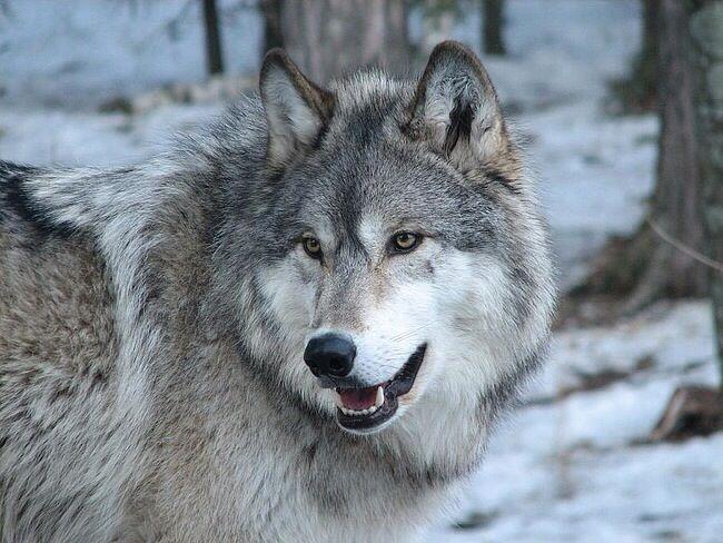 振り向く狼