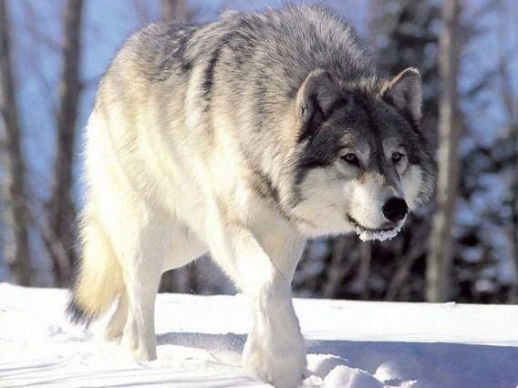 雪と歩く狼