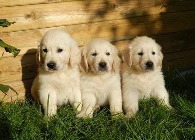puppies-2243686_960_720
