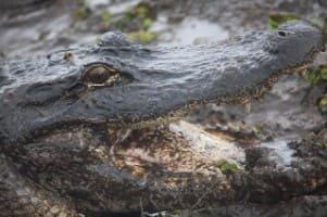 aligator-1183005_640-min